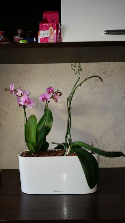 Орхидеи в кашпо с автополивом выращивание 52