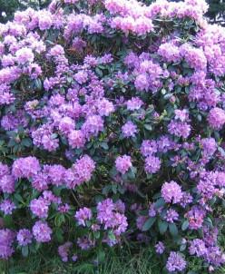 Рододендрон hybriden Catawbiense Grandiflorum р9