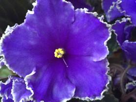 Фиалка цветущая взрослое растение