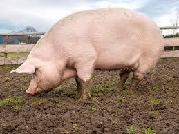 Мясо свинины с частного подворья