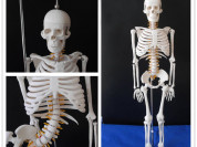 Модель скелета человека (гнущийся позвоночник)