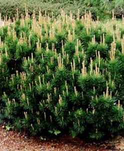 Pinus mugo mugo (mughus)/сосна горная