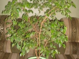 Взрослое,ухоженное растение Фикус.