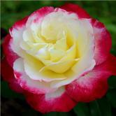 Роза чайно-гибридная Double Delight 1 шт.