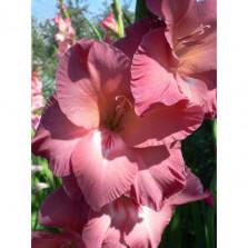 гладиолус buccaco