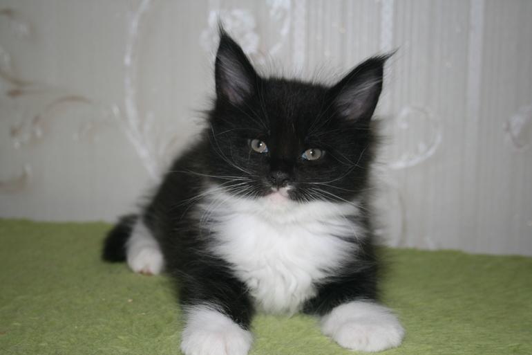Красивые  котята  Мейн  кун  от  родословных  родителей