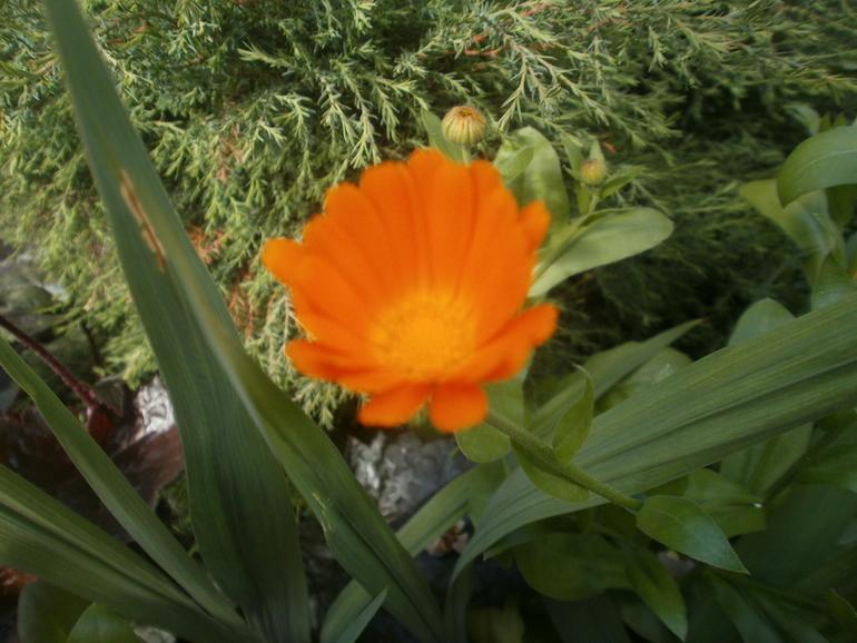 Цветы, что растут у моих родителей во дворе дома
