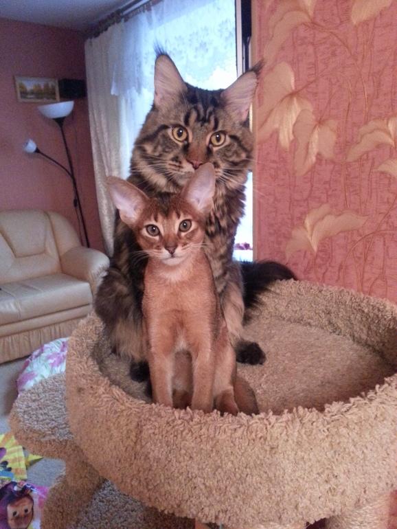 как знакомить взрослых котов