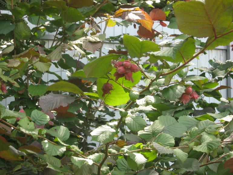 Выращивание на даче фундука 45