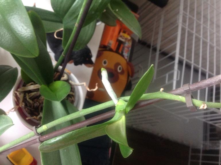 Побеги орхидеи фото