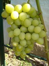 Виноград культурный Аркадия