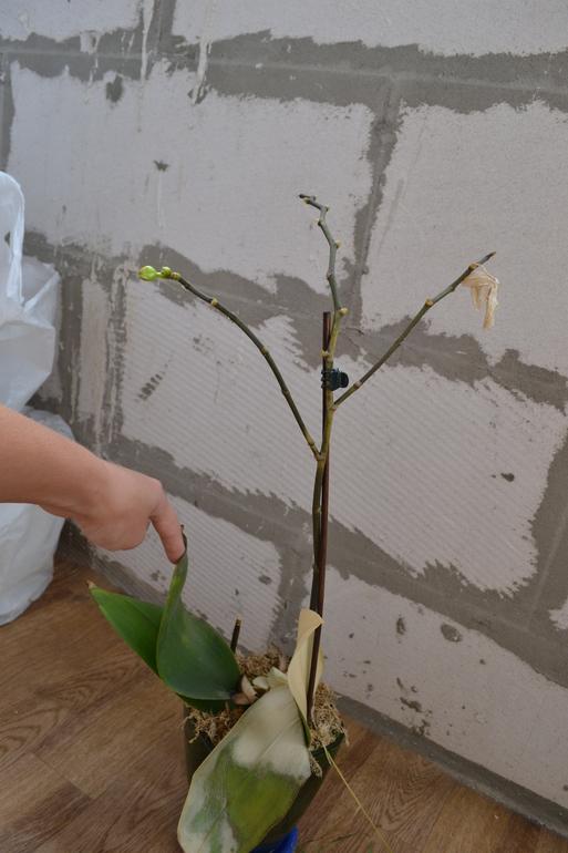 Орхидея сгорела на солнце как ее спасти