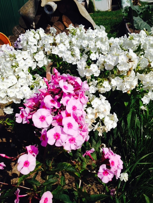 Купить голубую розу воронеж
